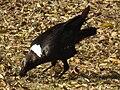 White-necked Raven Corvus albicollis Tanzania 3936 cropped Nevit.jpg
