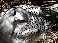 White-tailed Tropic Bird. Pheathon lepturus. Baby in nest - Flickr - gailhampshire.jpg