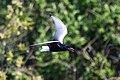 White-winged Tern (Chlidonias leucopterus) (14180464379).jpg