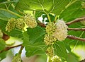 White Mulberry, Morus alba, so sweet. (45647751371).jpg
