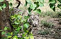 White Tiger staring from tree.jpg