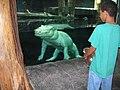 White alligator - Aquarium of the Americas.jpg