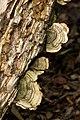 Wielangta Unidentified Fungus 5319.jpg