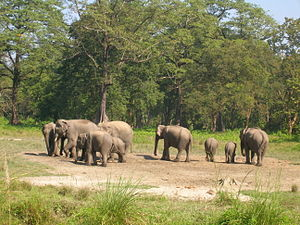 Jaldapara National Park - Image: Wild Elephants at Jaldapara