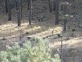 Wild Turkeys - Apache-Sitgreaves National Forest - Nov 2017.jpg
