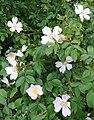 Wild roses, Rosa acicularis - geograph.org.uk - 848410.jpg