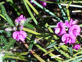 Mirbelia rubiifolia - Heath Mirbelia at Morton National Park, Australia
