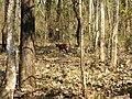 Wildlife's @ Bandipur Tiger Reserve - panoramio (4).jpg