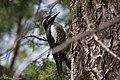 Williamson's Sapsucker (male) Forest Rd 42 Loop Chiricahuas Portal AZ-77 (35066887293).jpg