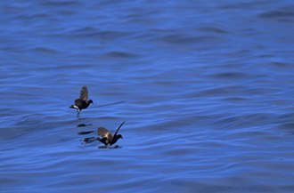 Seabird - Wilson's storm petrels pattering on the water's surface