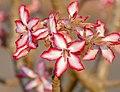 Winter Impala Lily (Adenium obesum) flowers (31297326794).jpg