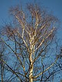 Winterliche Abendsonne auf einer Birke.JPG