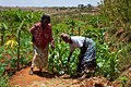 Women smallholder farmers in Kenya.jpg