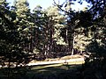 Woodland near Arne - geograph.org.uk - 273466.jpg
