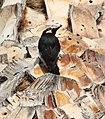 Woodpecker in Palm 6-15-13b (9117772241).jpg
