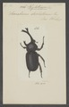 Xylotrupes - Print - Iconographia Zoologica - Special Collections University of Amsterdam - UBAINV0274 021 07 0037.tif
