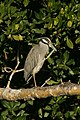 "Yellow-crowned Night-Heron, J.N. ""Ding"" Darling NWR (5612481677).jpg"