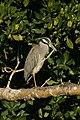 """Yellow-crowned Night-Heron, J.N. """"Ding"""" Darling NWR (5612481677).jpg"""