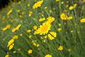 Yellow Chamomile (7445448518).jpg