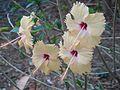 Yellow Hibiscus 1.jpg