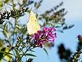 Yellow butterfly in Virginia - Stierch.jpg