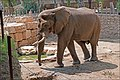 Yossi-the-African-Elephant-0003.jpg