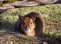 Young Reeves's Muntjac, Prague zoo.jpg