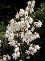 Yucca filamentosa1218678607.jpg