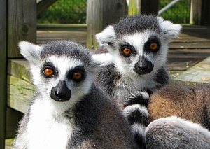 Magnetic Hill Zoo - Two ring-tailed lemurs (Lemur catta) at the Magnetic Hill Zoo.
