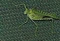 Zebra Katydid (Terpnistria zebrata) female (13799117714).jpg