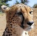 Zena, 3 years old female Cheetah (Acinonyx jubatus) ... (32242663738).jpg