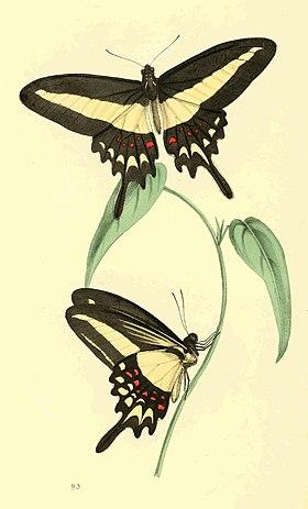 Zoological Illustrations Volume II Plate 93.jpg