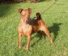 Zwergpinscher Marrone Femmina.JPG