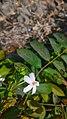 """""""Arya"""" Combretum indicum in Pilangsari 2019 2.jpg"""