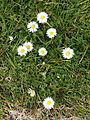 'Bellis perennis' common daisy in the City of London Cemetery, Newham, London England.jpg