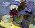 'Nymphaea' Black Princess Water Lily Hatfield House Hertfordshire England.jpg