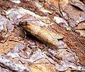 (1025) Tortricodes alternella (32971024865).jpg