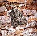 (2343) Common Rustic (Mesapamea secalis) (30128039305).jpg
