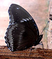(Hypolimnas bolina) great eggfly butterfly at Madhurawada 01.jpg