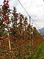 Äpfel P1260372.jpg