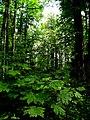Šuma Acer heldreichii IMG 6873^.jpg