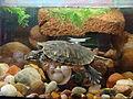 Żółw w akwarium (4).JPG