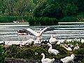 Παρέα από πελεκάνους, πάπιες και παπάκια στην λίμνη της Καστοριάς.jpg