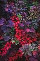 Барбарис обыкновенный (лат. Berberis vulgaris) 1.jpg