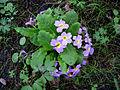 Ботсад, Черемшини , 44, квіти.JPG