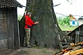 Велетень-дуб на сільському подвір'ї.jpg