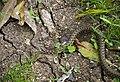 Водяной уж - Natrix tesselata - Dice snake - Сива водна змия - Würfelnatter (22609709994).jpg