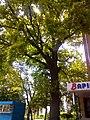 Віковий дуб, Прилуцький район, м. Прилуки, вул. Вокзальна, 36 74-107-5002 05.jpg