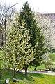 Дерева квітнуть у ботанічному саду Хмельницького Національного університету.jpg