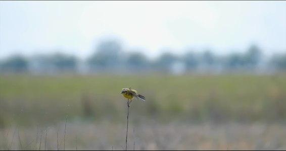 File:Жовта плиска.webm